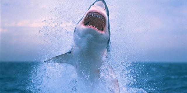 Tiburón blanco devorando a una ballena jorobada