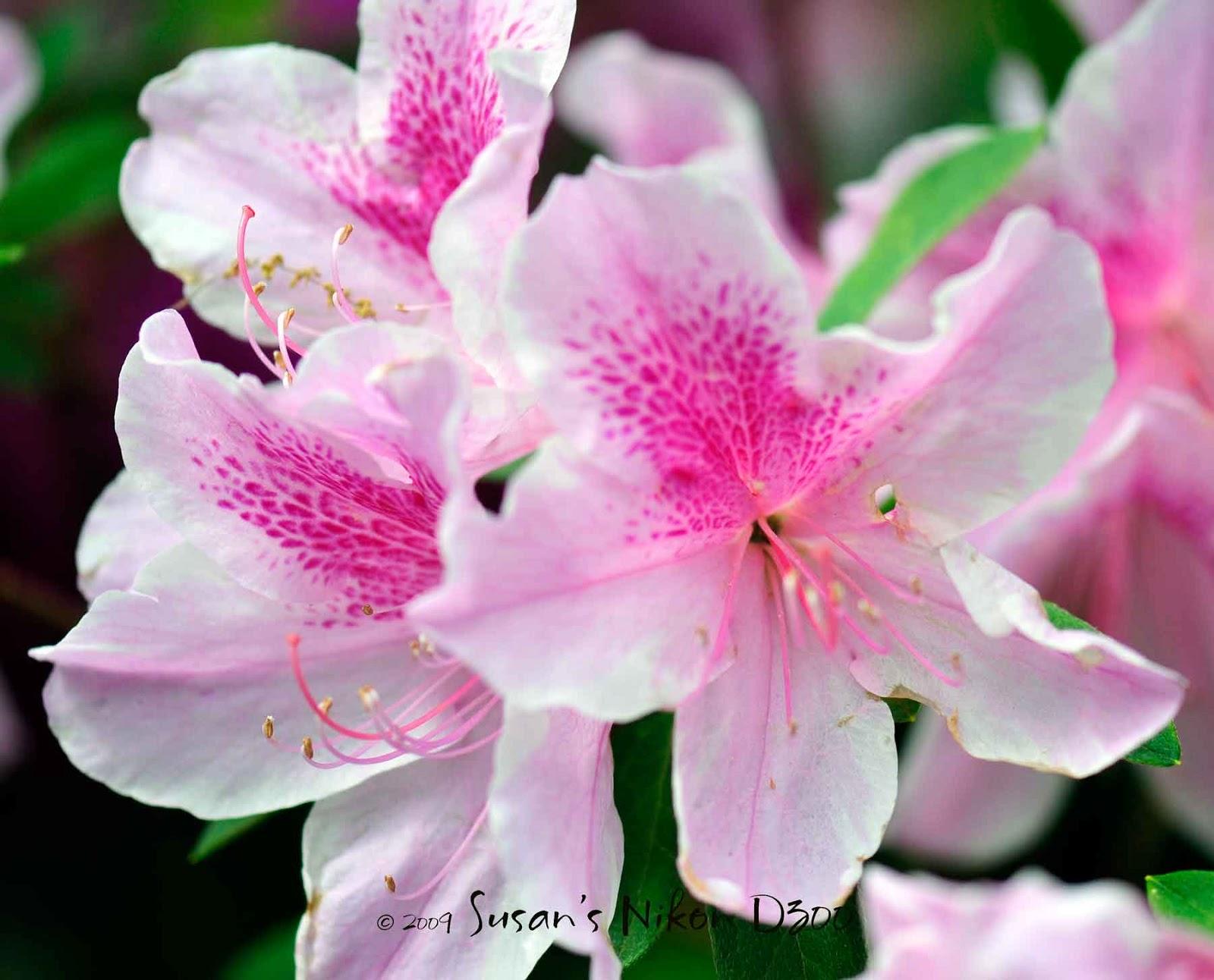 Flower Homes: Azalea Flowers