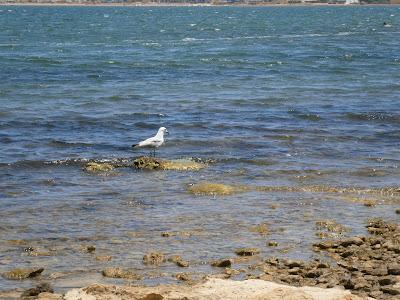 Gaviota parada en una pequeña piedra en la orilla de la playa