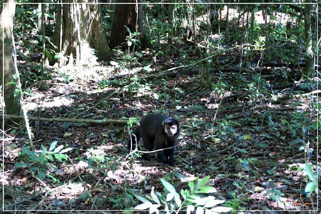Macaco no Parque Nacional Iguazú