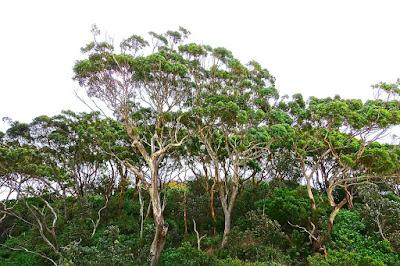 cara menghilangkan bau kaki akibat jamur dengan minyak eucalyptus