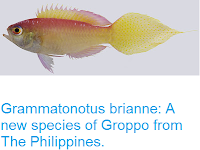 http://sciencythoughts.blogspot.co.uk/2016/10/grammatonotus-brianne-new-species-of.html