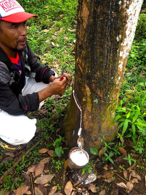 Rubber tree at Glenmore plantation, Kalibaru, East Java, Indonesia