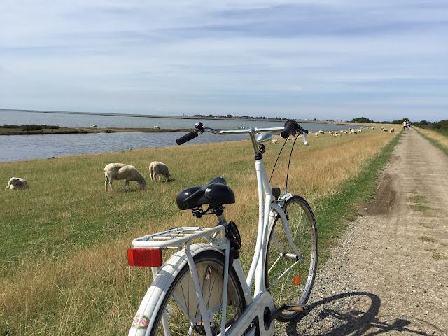 Fahrradtour Deich Schafe