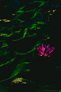 Hoa sen: loài hoa nhân sinh cao quý