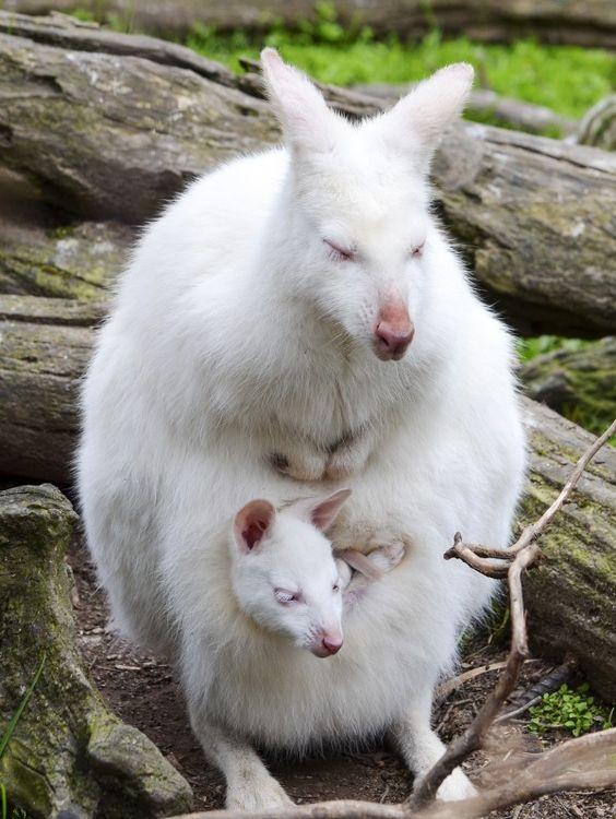 Wallaby | A-Z List of 125 Rare Albino Animals [Pics]
