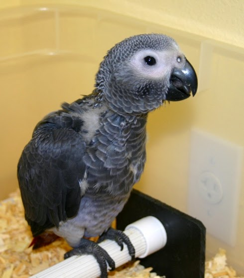 African Grey Sexing 70
