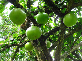 Calabash Fruit Pictures