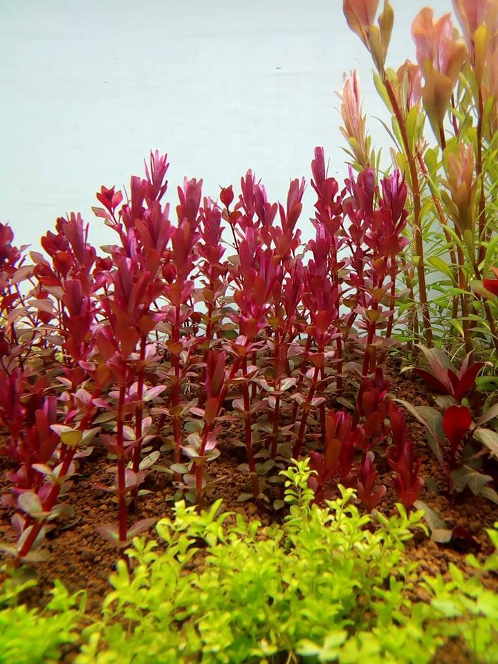 Vẻ đẹp tuyệt vời của cây thủy sinh vẩy ốc siêu đỏ - Rotala Colorata