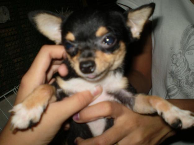 Cute Dogs: Teacup Chihuahuas