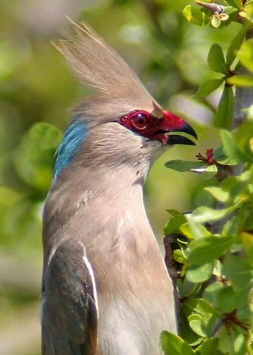 pajaro raton nuca azul Urocolius macrourus