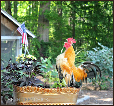 Caesar, Serama rooster via www.The-Chicken-Chick.com