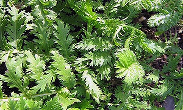 Catinga de mulata (Tanacetum vulgare L.)
