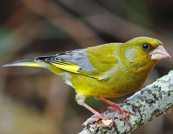 mp3 Suara burung greenfinch