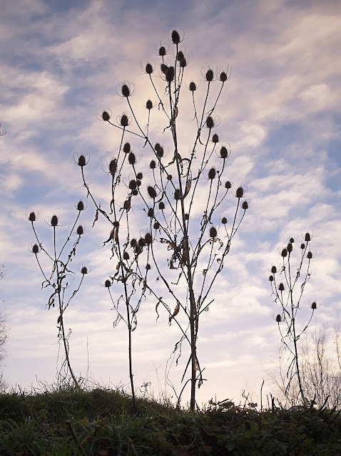 Teasel plants with seed heads and no leaves stand out against the sky
