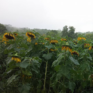 Black oil sunflowersheads nodding as they ripen.