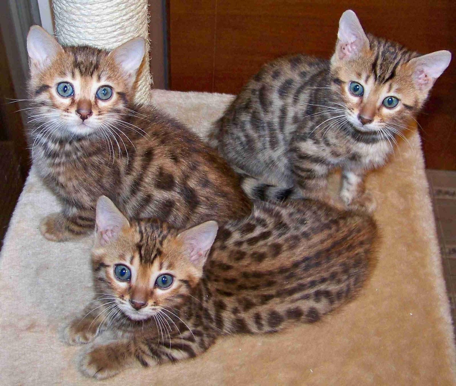 bengal cats cute cats. Black Bedroom Furniture Sets. Home Design Ideas