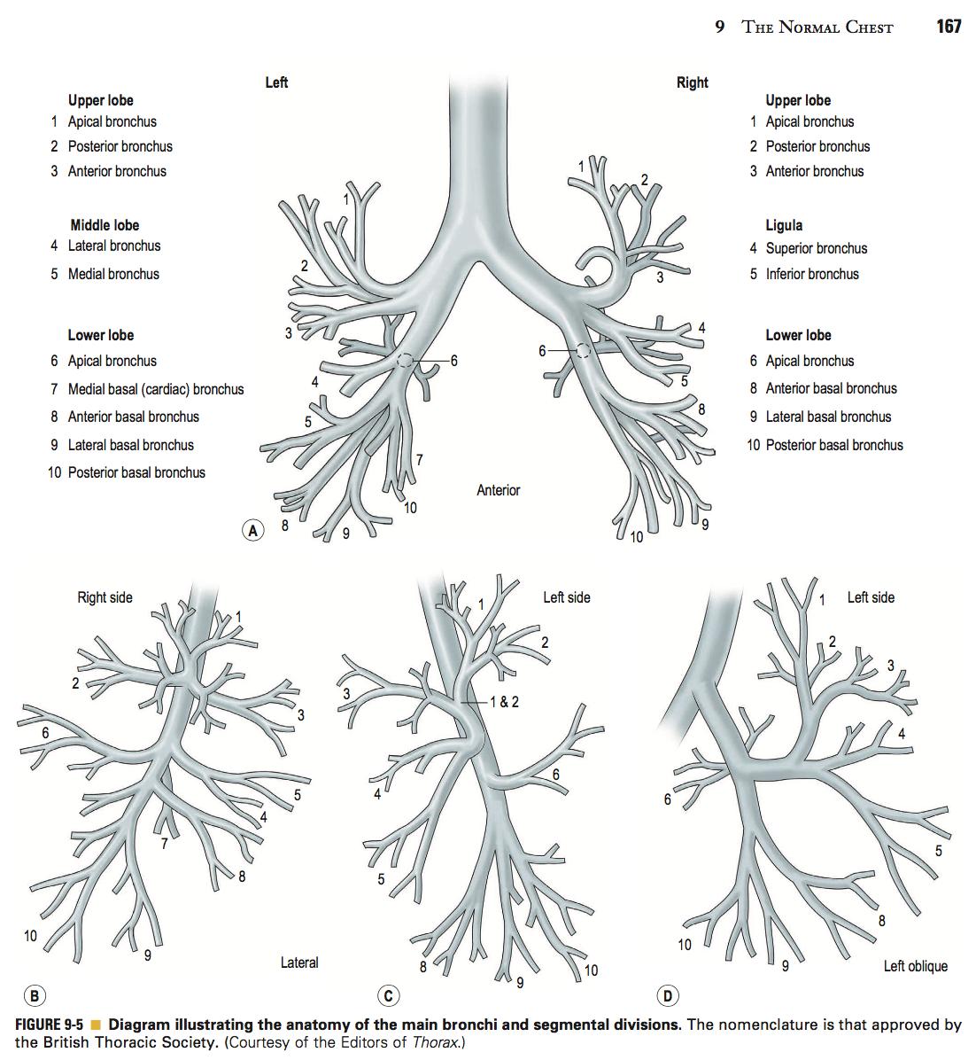 Anatomy of bronchopulmonary segments | ANATOMICA RADIOLOGICA