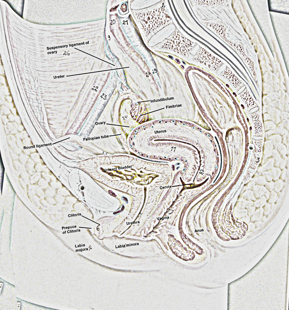My Homeworks Photos Male And Female Reproductive System-5751