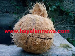 Tempurung kelapa unik, memiliki tiga pangsa