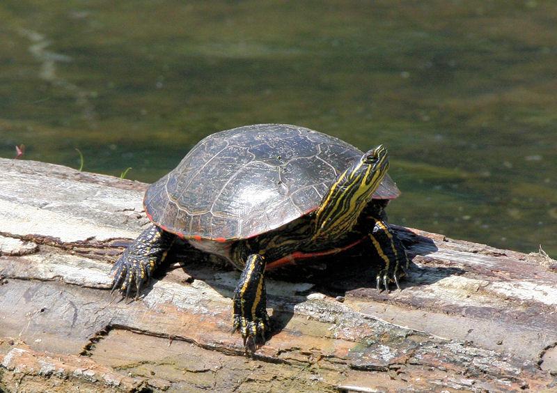 Turtle Base Blog Western Painted Turtle Care