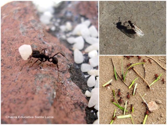Hormiga obrera, macho alado, obreras y soldados - Chacra Educativa Santa Lucía