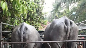 Warga Amankan Mobil Pick Up Bermuatan 2 Ekor Kerbau Diduga Hasil Curian