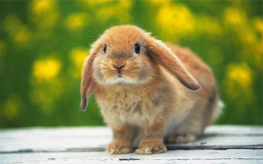 fotografia de hermoso conejito beige de orejas caidas