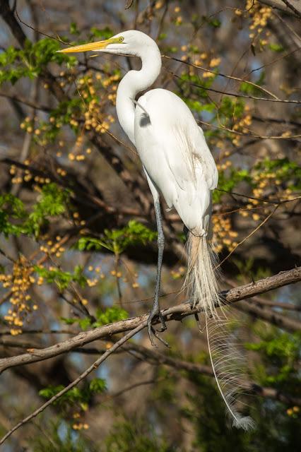 Great Egret, UT Southwestern Medical Center Rookery