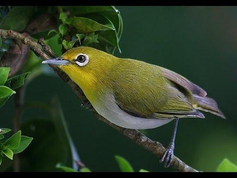 Cách nhận biết và chữa trị bệnh cho chim vành khuyên