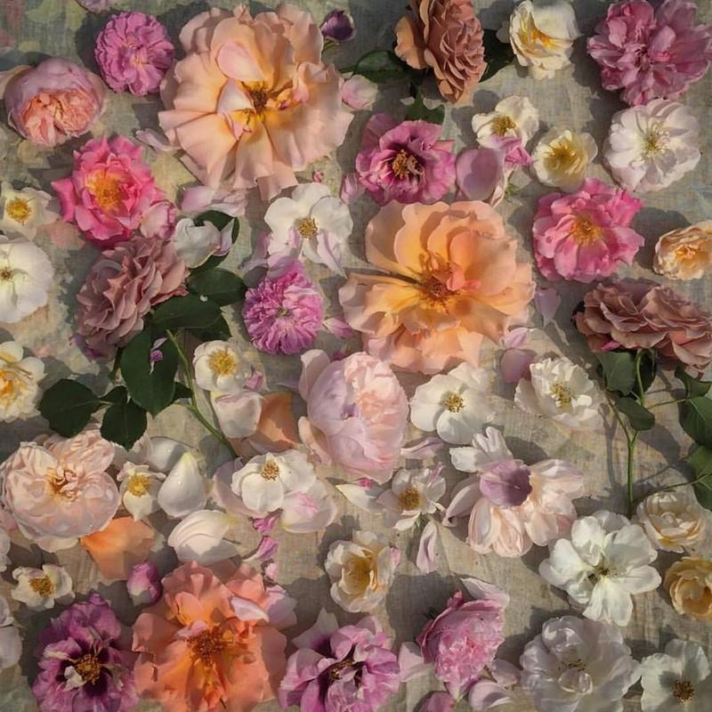 Rosas en junio