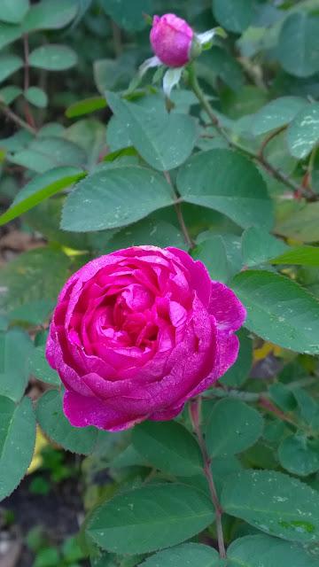 Rose de Resht (c) by Joachim Wenk