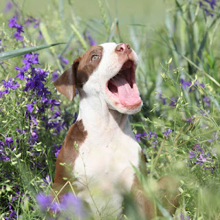 A happy pit bull puppy in the flowers