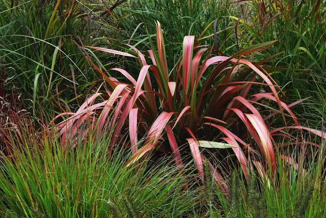 Linho da Nova Zelândia (Phormium)