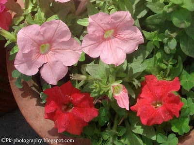 Petunia Flowers Picture