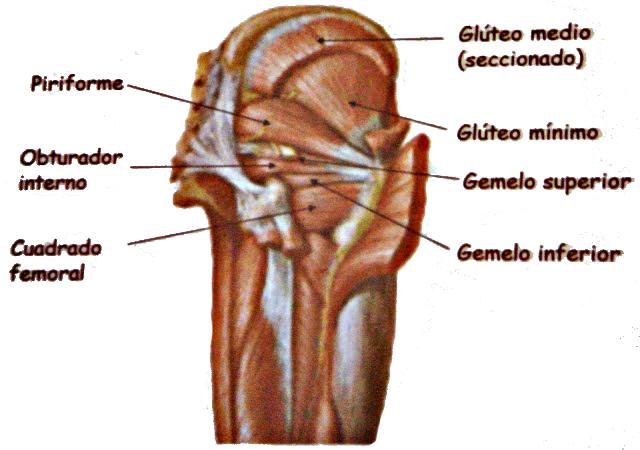 Anatomia gluteos piernas musculos y