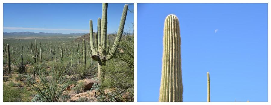 Les cactus du parc national de Saguaro