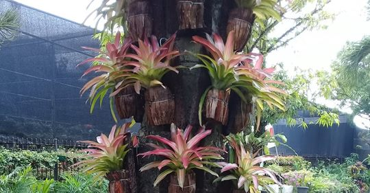 tricolor bromelia
