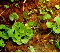 Pegagan (Centella asiatica)