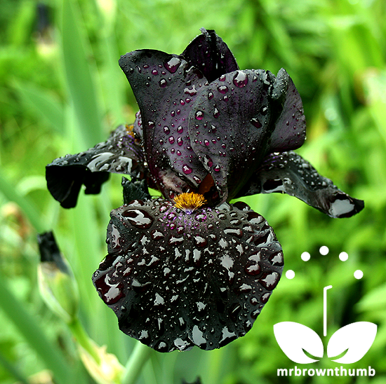 Black Iris Flower, Gothic blooms and flowers