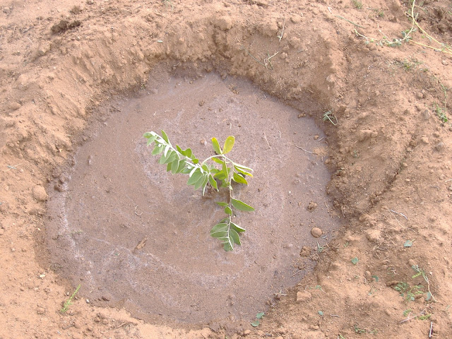 A small sapling in the middle Gobi, Mongolia