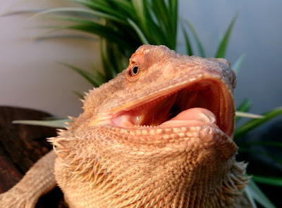 Bearded dragon gaping