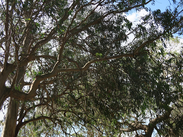 eucalyptus trees, koala conversation centre,  philip island, melbourne, australia