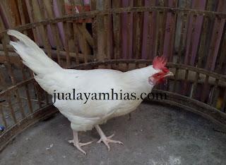 Ayam Phoenix Dewasa Betina