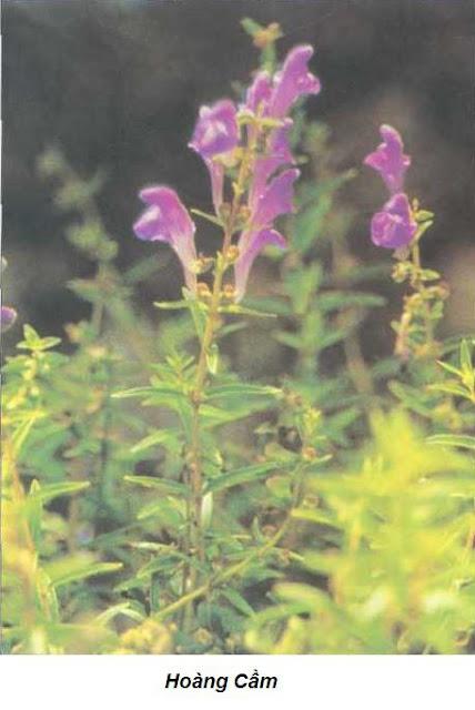 Hoàng Cầm-Scutellaria baicalensis-Nguyên liệu làm thuốc Hạ Huyết Áp