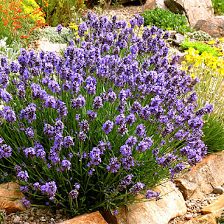 https://4.bp.blogspot.com/-yYhEpUAMtpg/WM7Qz0urHUI/AAAAAAAAG7Y/4HvHHRBrWbghJLqV3iXQ-n-8kA93c1JogCLcB/s1600/Spanish+Lavender+Bush.jpeg