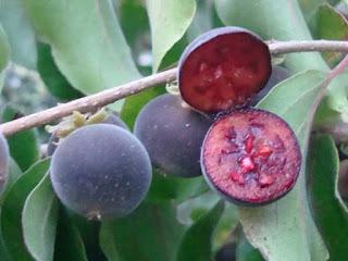 ceylon gooseberry fruit images