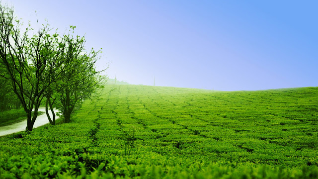 The beauty of green Tea Hills In Moc Chau Plateau