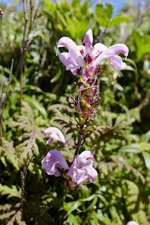 ヤクシマシオガマ、屋久島の植物