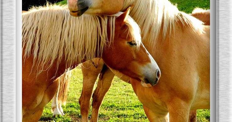Fotografia in alto adige s dtirol cavalli avelignesi for Cavalli bolzano